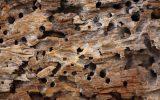 Cupins na madeira seca
