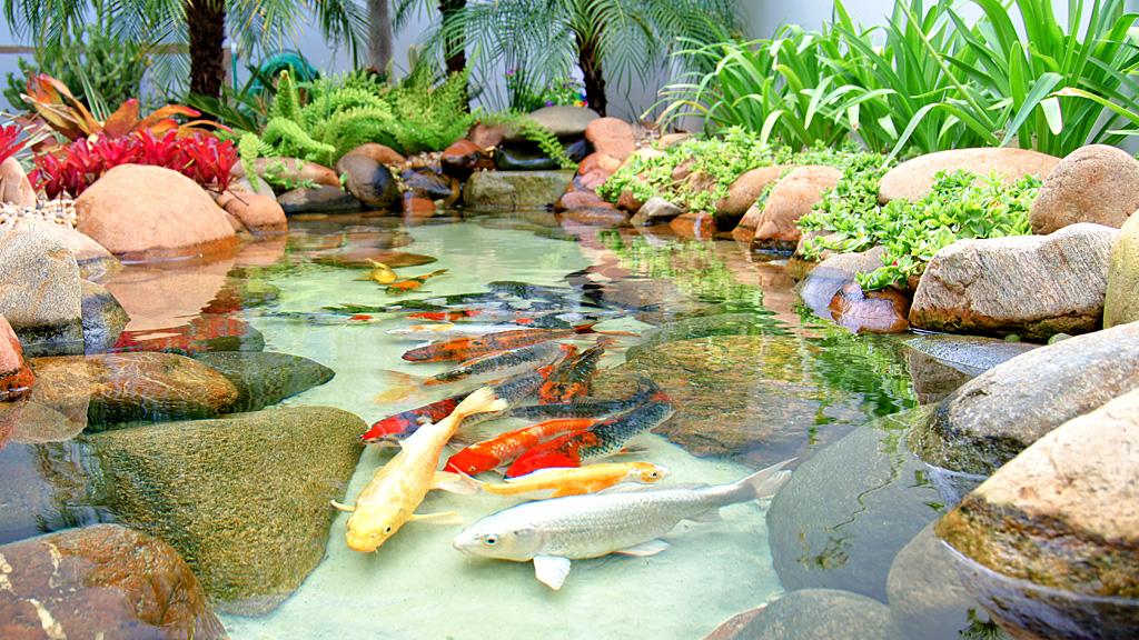 mini jardim quanto custa : mini jardim quanto custa:Carpas ornamentais em um laguinho que compõem o paisagismo de