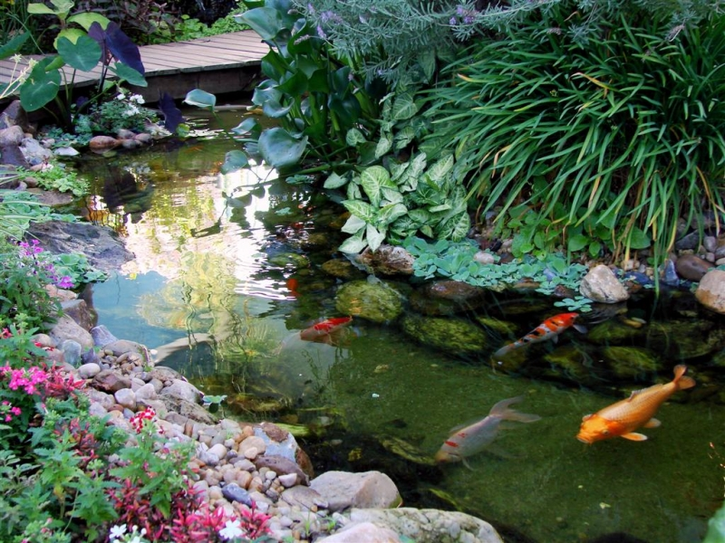 Os lagos com carpas são uma solução muito popular para quem quer um lago ornamental em casa.