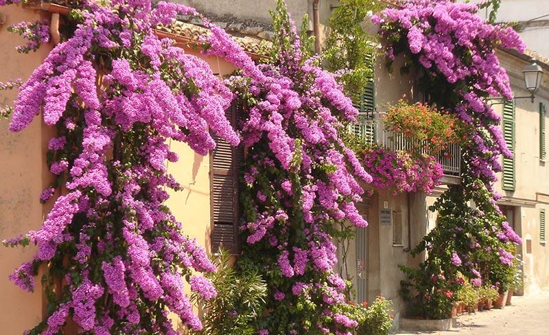 Trepadeira Bougainvillea lilás aderida em fachada de casa