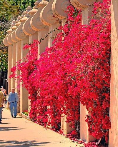 Bougainvillea vermelha aderida em estrutura de treliça em San Diego
