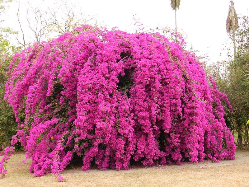 Bougainvillea, uma trepadeira lenhosa que pode aderir a grandes estruturas, e fica super florida