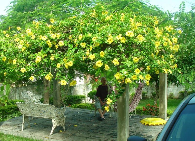 pegolado coberto com a planta trepadeira alamanda, da variedade