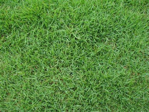 Aspecto da grama Coreana em um gramado