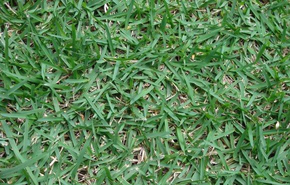 Aspecto da grama esmeralda em um gramado