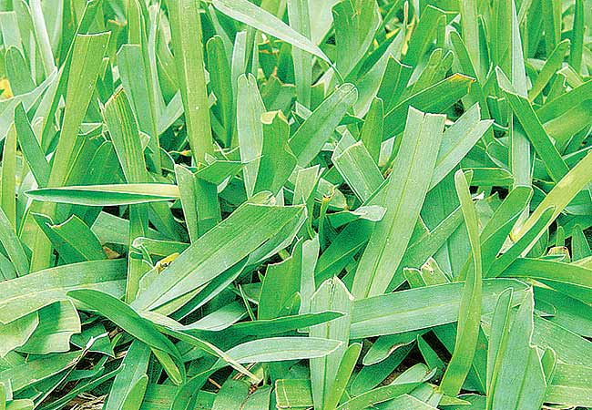 Aspecto da grama Santo Augustinho em um gramado