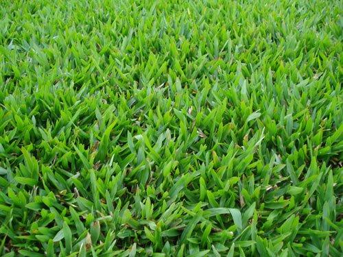 Aspecto da grama São Carlos em um gramado