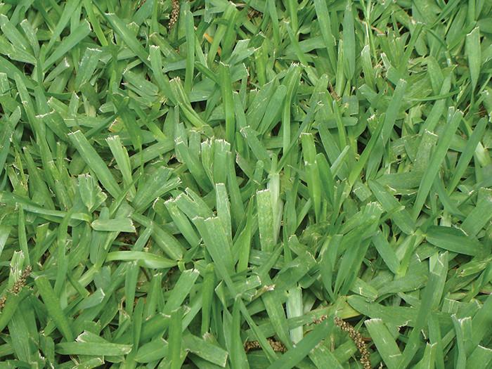 Aspecto da grama batatais em um gramado