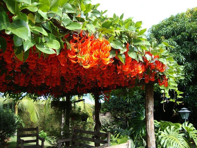 pergolado com trepadeira floral embelezando o jardim