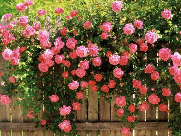 variedade de rosa trepadeira, ideal para plantio em grades e cercas