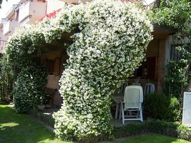 jasmim estrela - trepadeira florida e com ótimo aroma para enfeitar jardins,pérgolas e passagens