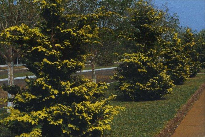 Outro tipo popular no brasil é o cipreste dourado, ou Tuia Europa, que possui uma tonalidade amarelada de seus galhos