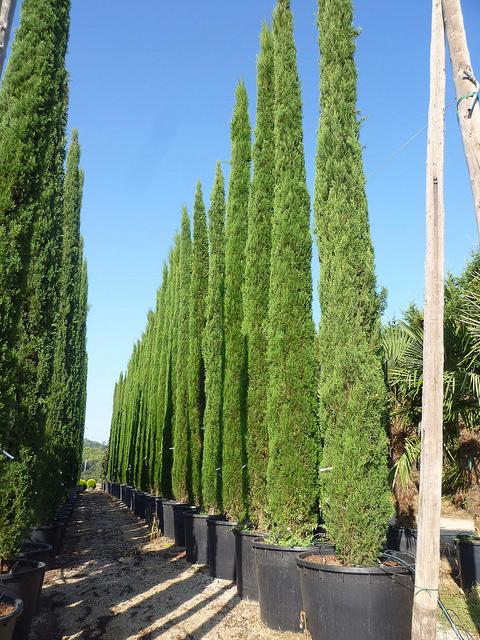 Ciprestes  Preços de mudas e dicas para plantar