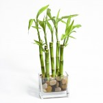Vaso simples de vidro com bambu da sorte