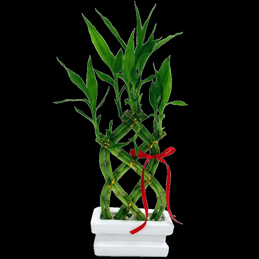 bambu da sorte, usado na decoração de ambientes