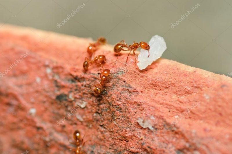 formigas pimenta