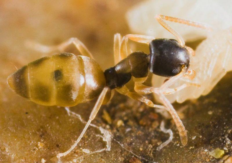 A formiga fantasma recebe o seu nome pela coloração clara do seu corpo