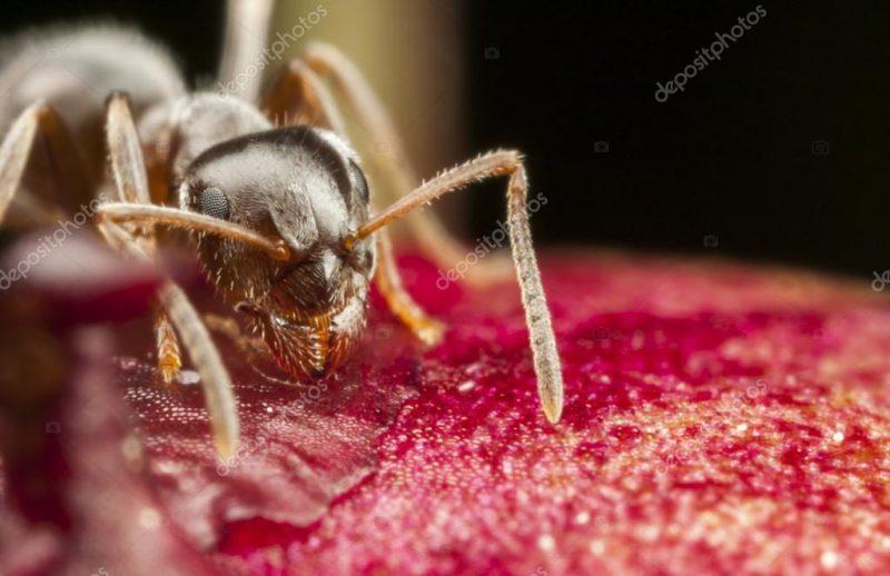 Formiga faraó - um tipo extremamente pequeno de formiga, que se infiltra facilmente em frascos de açúcar e de alimentos