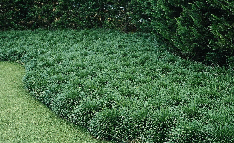 Grama preta ornamentando canteiro de jardim