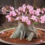 rosa do deserto rosa clara (2)