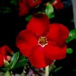 rosa do deserto vermelha
