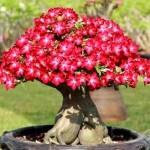 Rosa do deserto de tom bem avermelhado