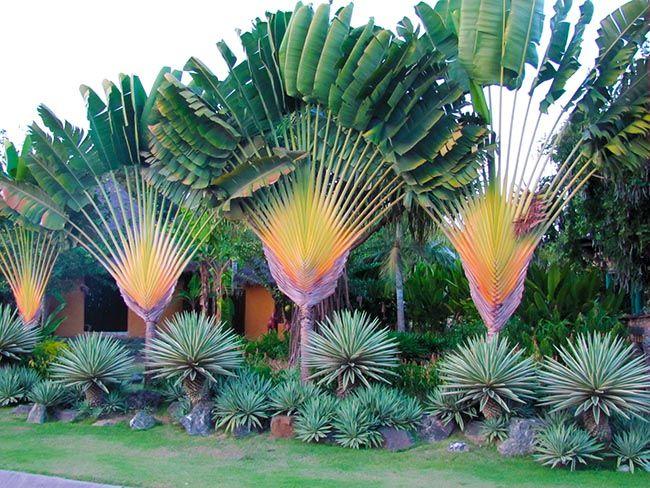 jardim com palmeiras Jardim com Palmeiras Ravenala lado a lado
