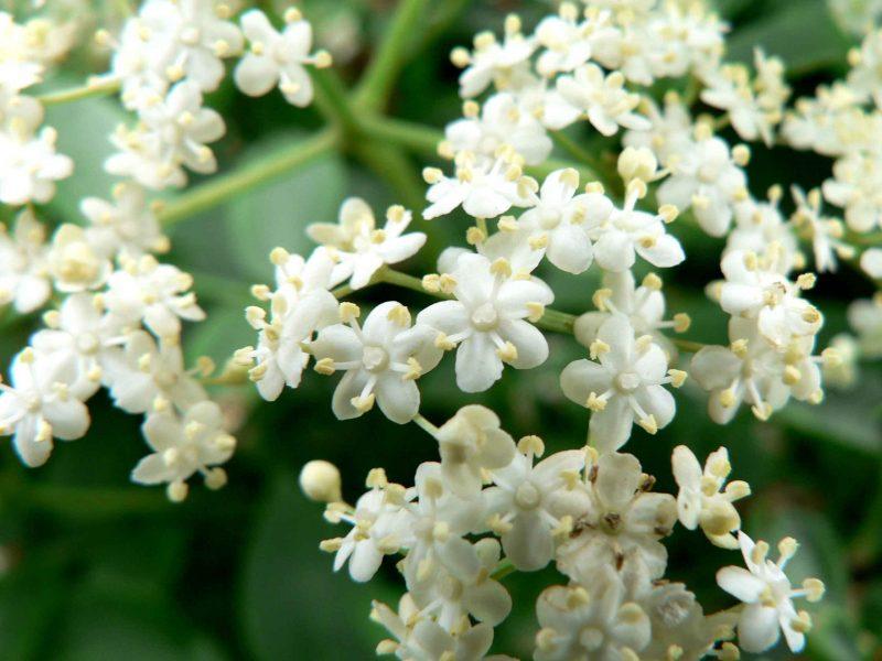 Jasmim aromático, muito usado em cercas vivas para aromatizar o jardim