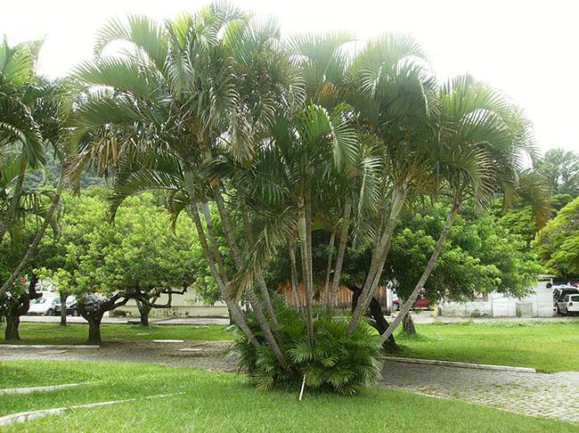 Moite de palmeira areca no jardim