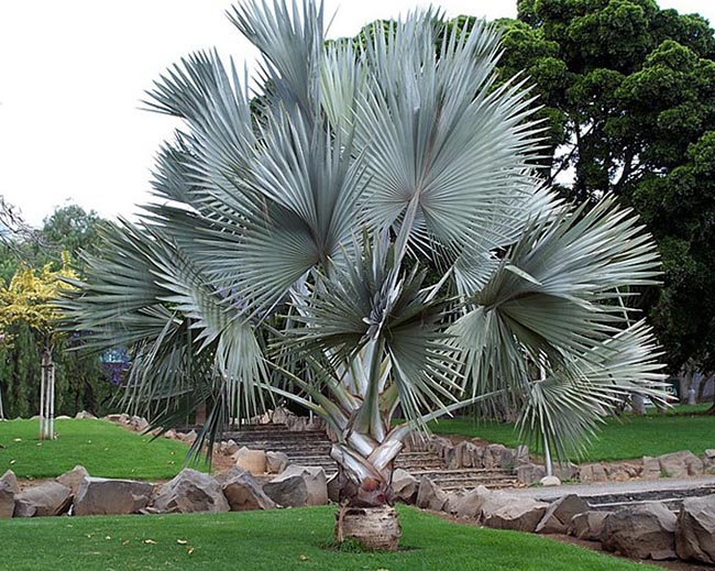 Palmeira leque azul, também conhecida como palmeira Bismakia