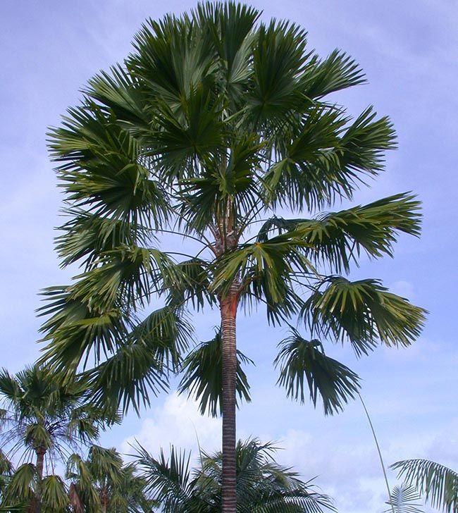 Após alcançar determinado porte, as folhas da palmeira leque passam a ser mais pontudas e abertas