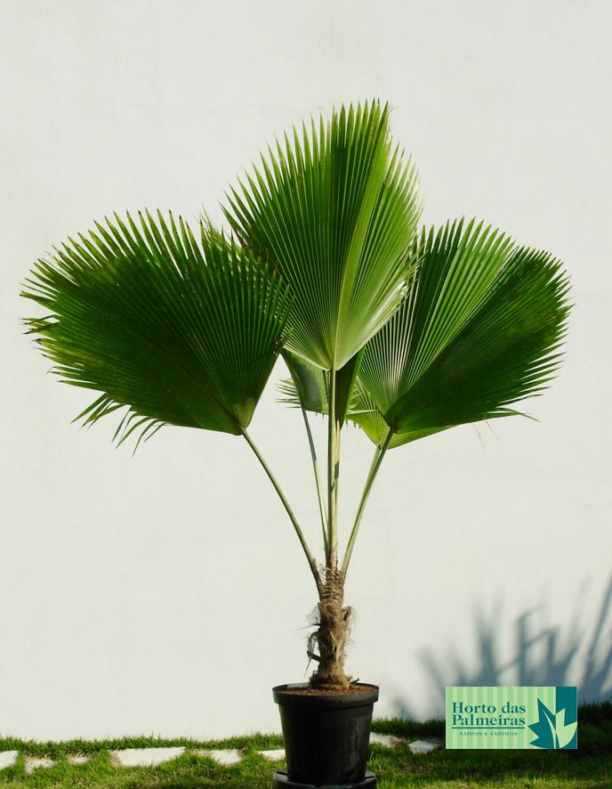 Enquanto em pequeno porte, a palmeira leque pode ser usada em vasos para enfeitar inclusive o interior de residências
