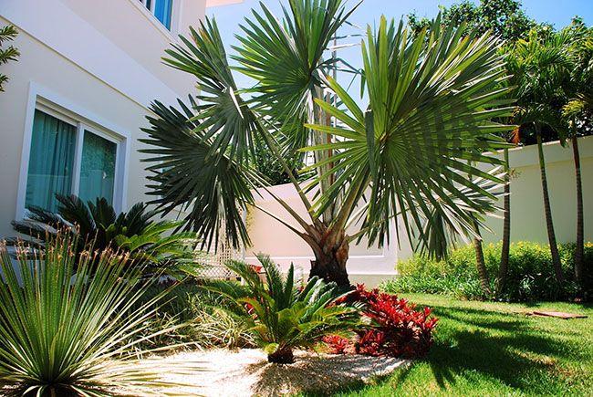palmeira para o jardim