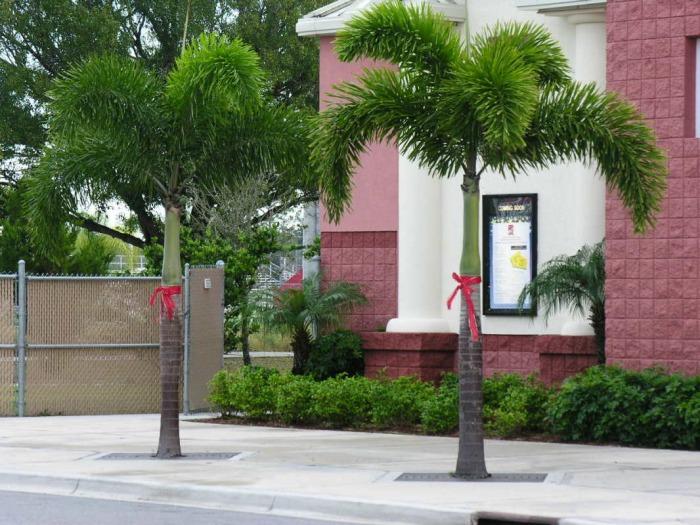 a palmeira rabo de raposa possui folhas muito volumosas