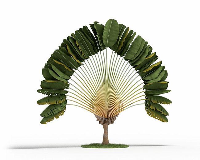 Palmeira ravenala, mantêm as folhas em uma estrutura em forma de leque
