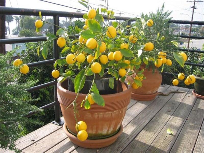 Árvore frutífera reduzida em vaso na varanda