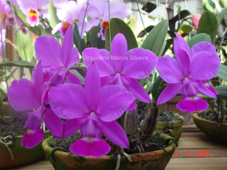 Orquídea Rara Cattleya Walkeriana