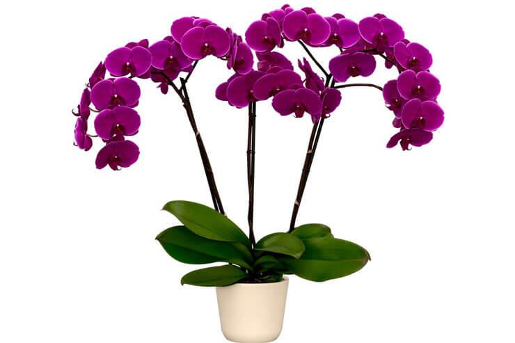 Orquídea Phalaenopsis Lilás