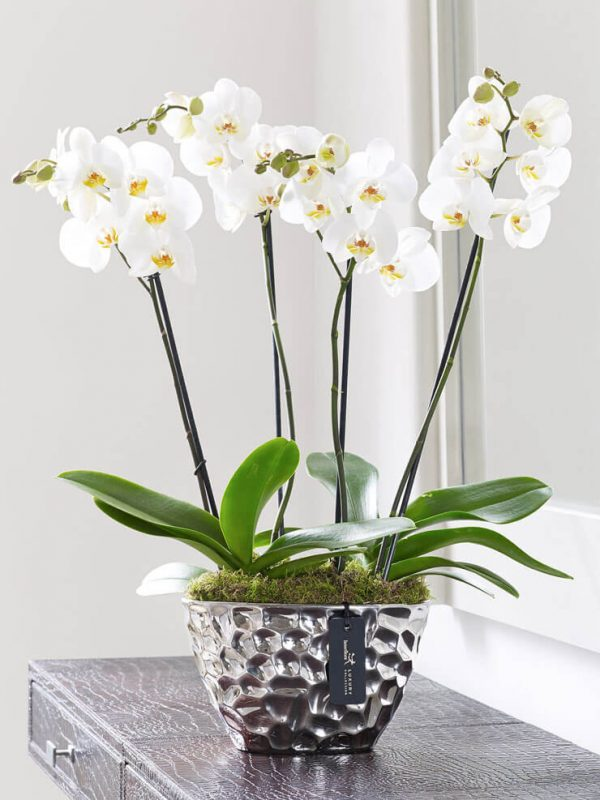 Orquidea Phalaenopsis-Branca