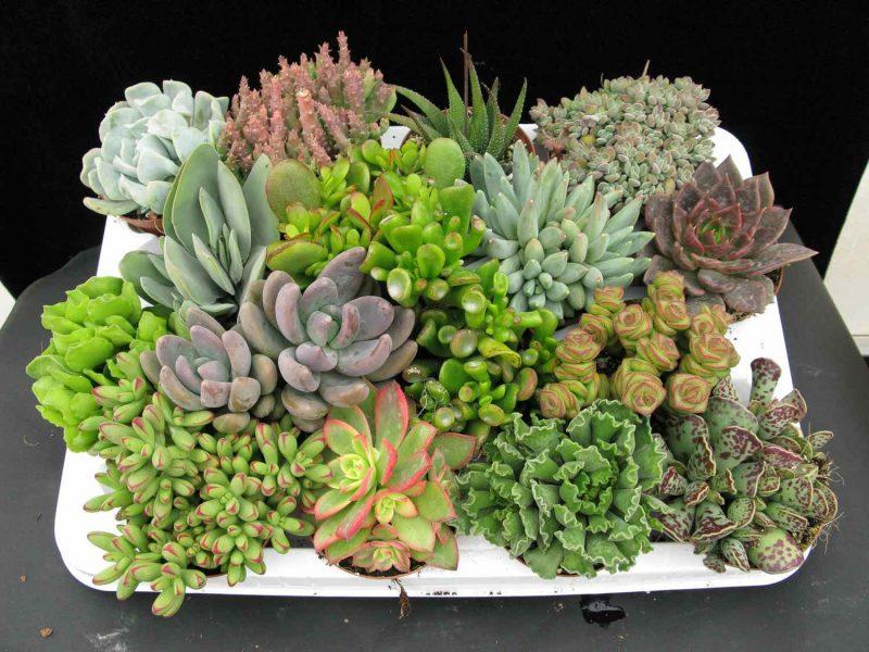 Mini Jardim de suculentas naturais