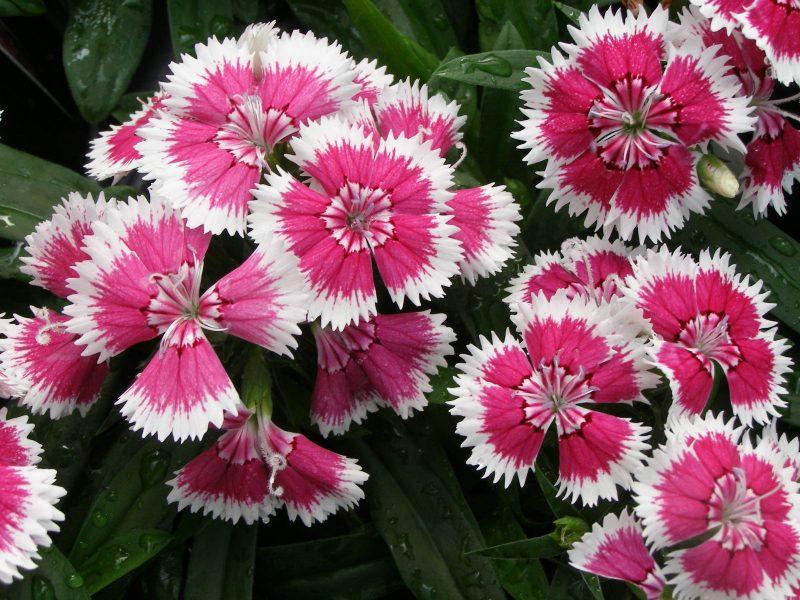 Plantas bienais (Cravina)
