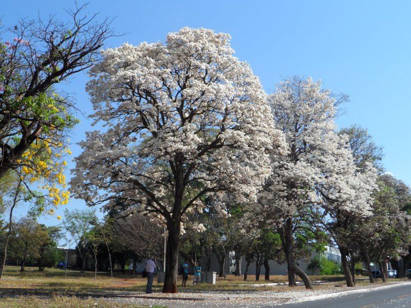 Ipê Branco - Árvore Florida