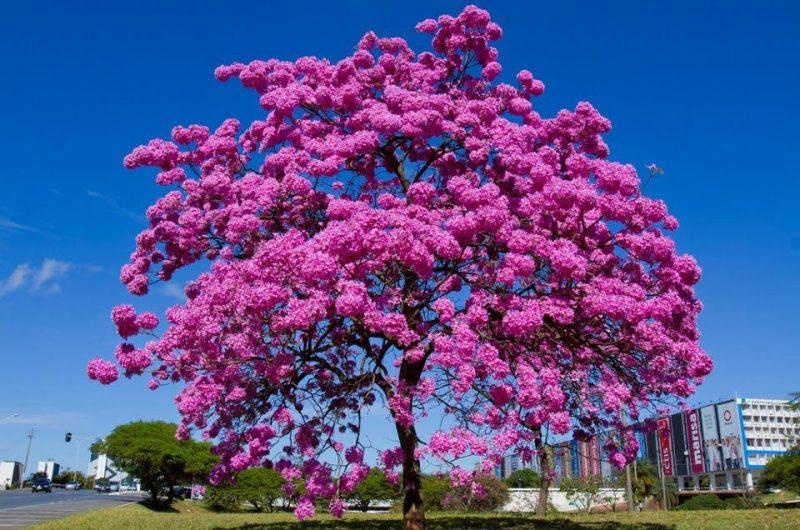 Ipê Rosa Florido