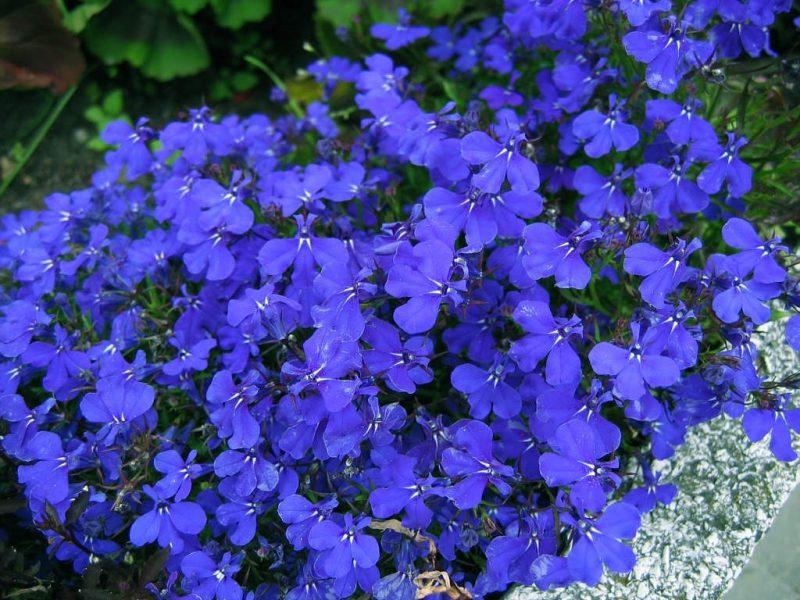 Plantas bienais (Lobélia azul)