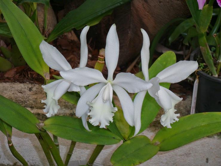 Orquídea Brasileira Júlio Conceição - Albina