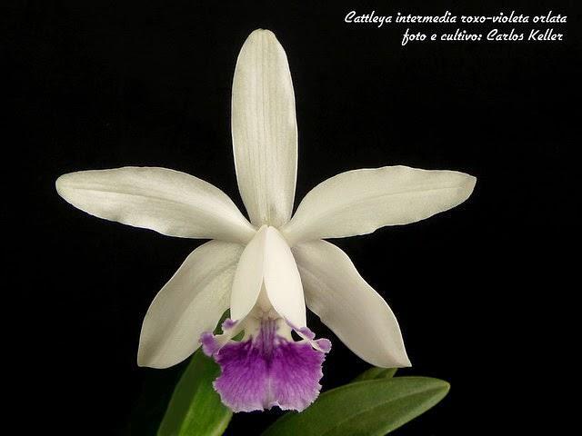 Orquídea Brasileira cattleya intermedia