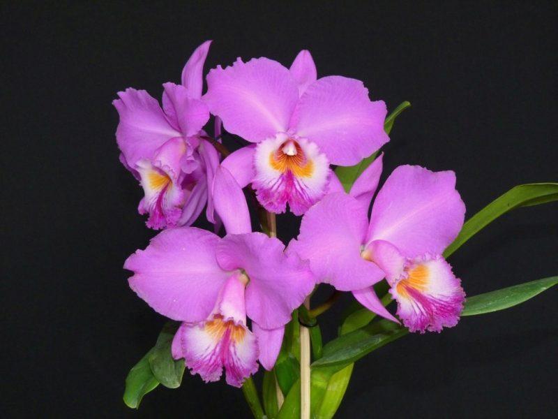 Cattleya labiata - Orquídea Brasileira
