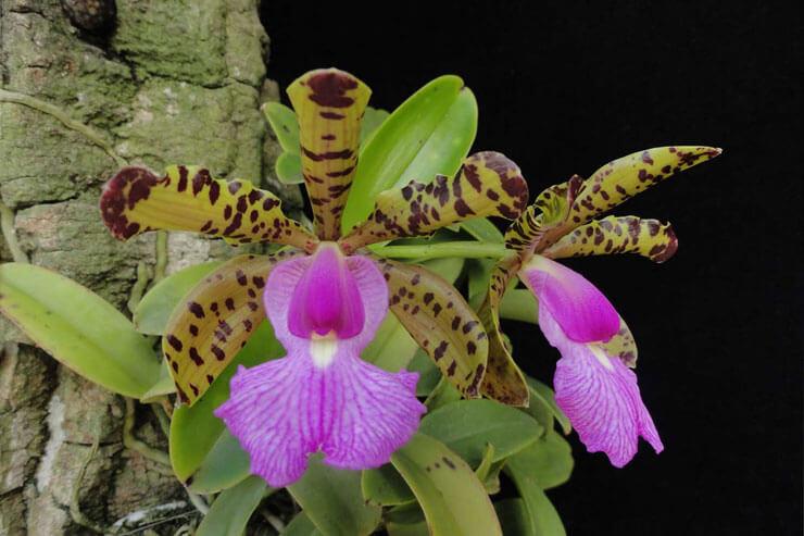 Orquidea Cattleya Aclandiae