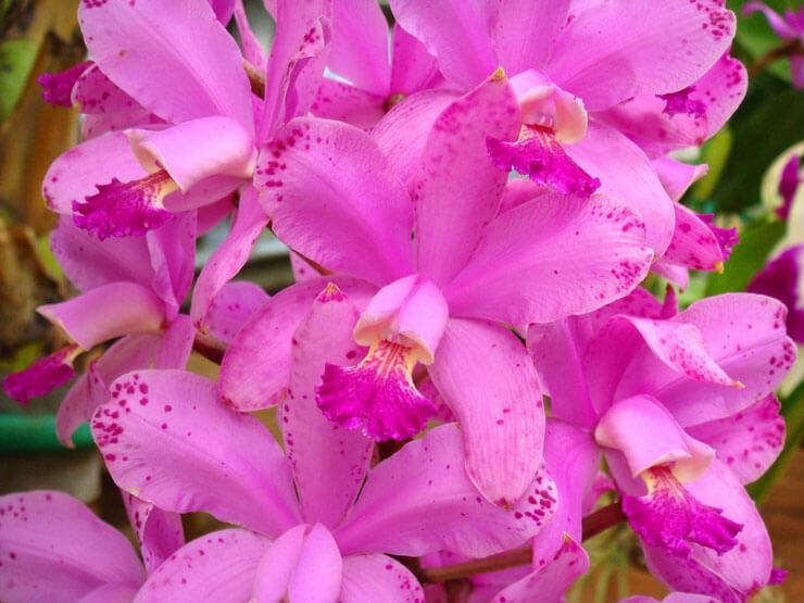 Orquidea cattleya loddiglossa
