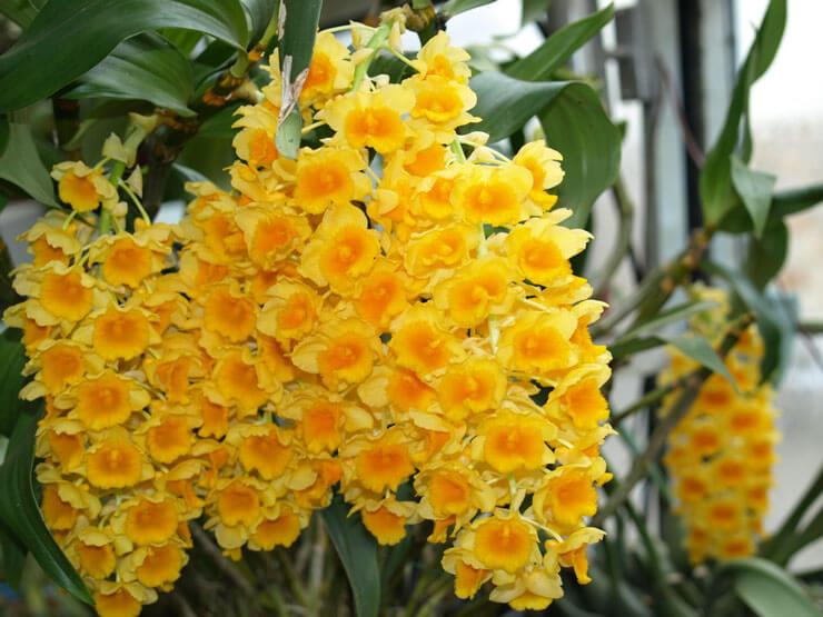 Orquidea Dendrobium Amarela